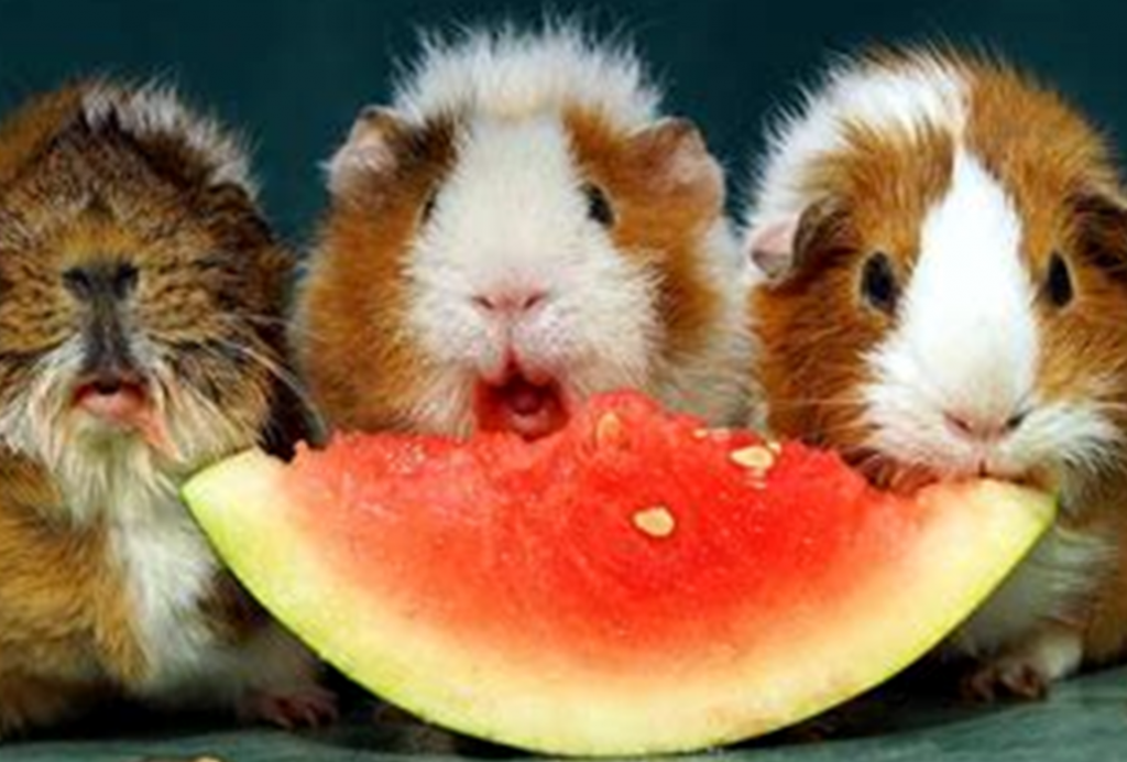 Happy guinea pigs eating water melon
